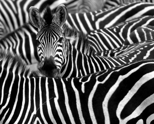 Zebra strategy safari